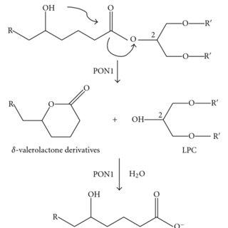 A hypothetical biochemical pathway that could explain the