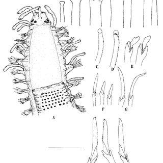 Streptosyllis campoyi. A. anterior end, dorsal view, B