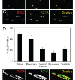 sv2a is localized to a subset of motor nerve terminals a c cross sections of medial gastrocnemius stained with antibodies specific for sv2a  [ 748 x 1209 Pixel ]