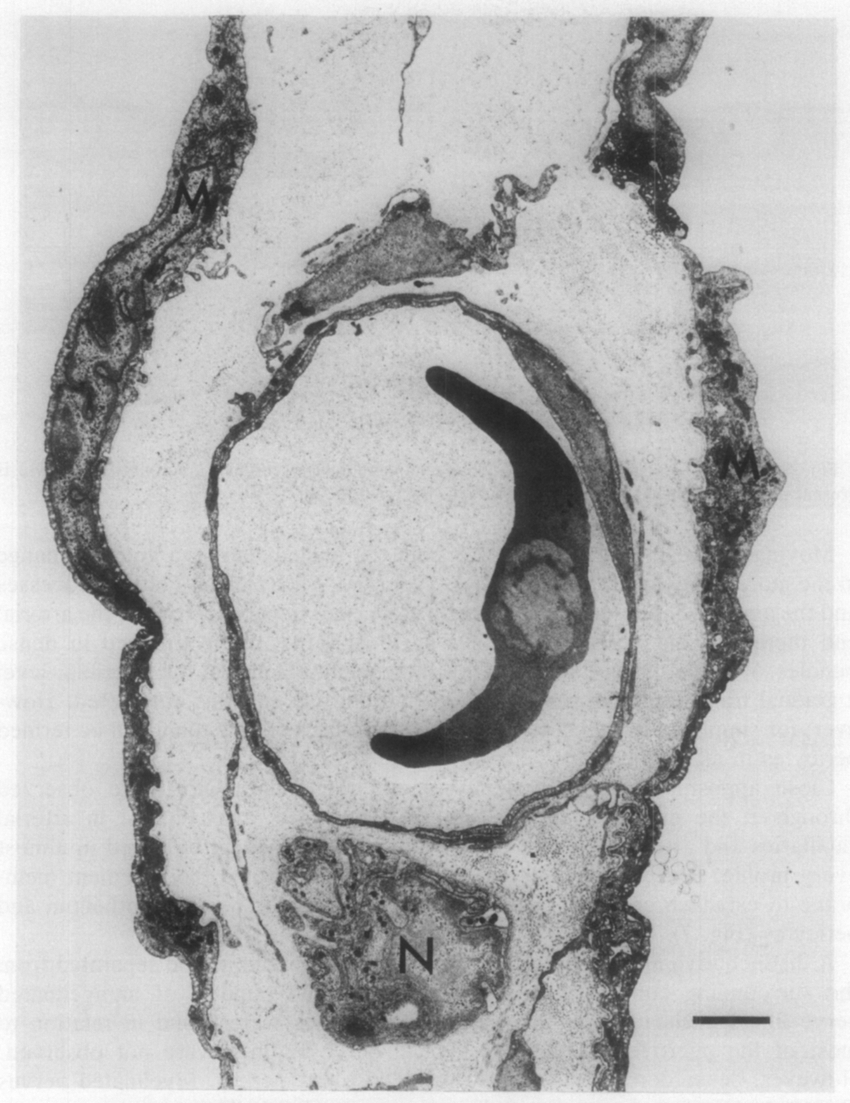 hight resolution of electron micrograph of a frog mesenteric midcapillary n nerve m mesothelium