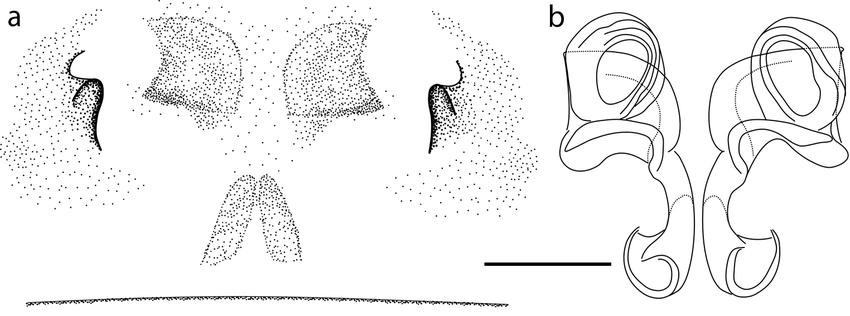 Nigma hortensis (Simon, 1870): a. epigyne in ventral view