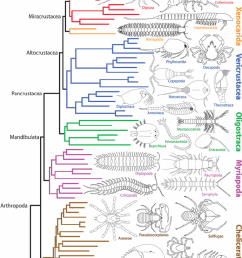 1 a recently proposed phylogenetic tree of the arthropoda including major branches of the crustacea [ 762 x 1272 Pixel ]