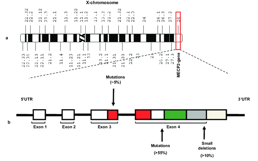 Rett syndrome and the MECP2 Gene Schematic representation