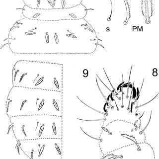 (PDF) Three New Species of Palmanura (Collembola