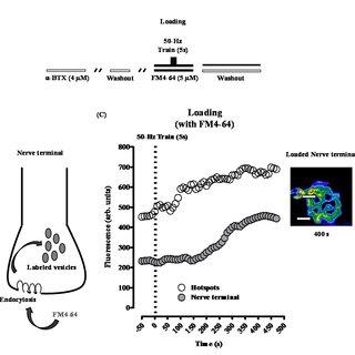 Nerve-evoked transmitter endocytosis measured by video