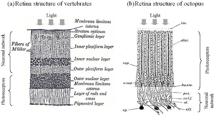 Comparison of the structure between ( a ) vertebrate and