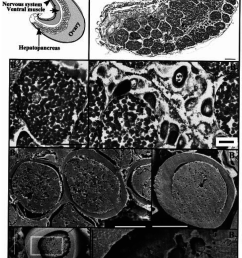 a scheme of the internal anatomy of a female abdomen in vitellogenesis phase of [ 850 x 1088 Pixel ]