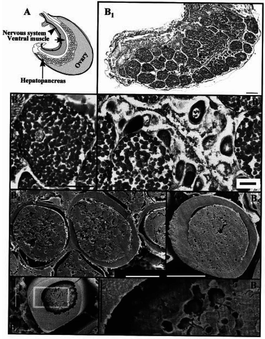 medium resolution of  a scheme of the internal anatomy of a female abdomen in vitellogenesis phase of