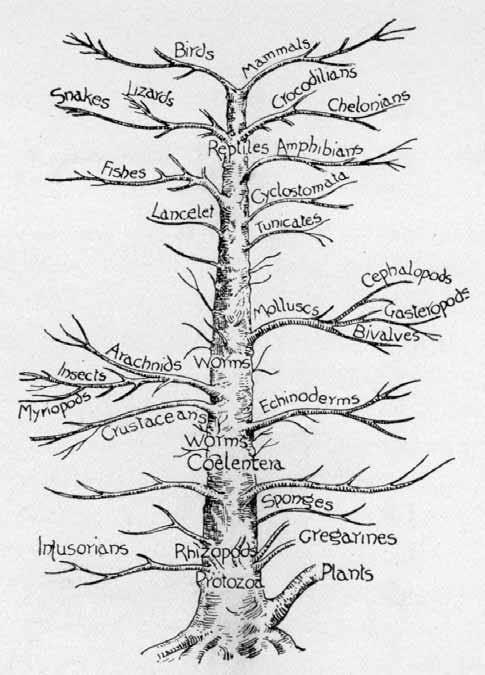 -Árbol genealógico de los animales, que resumen los