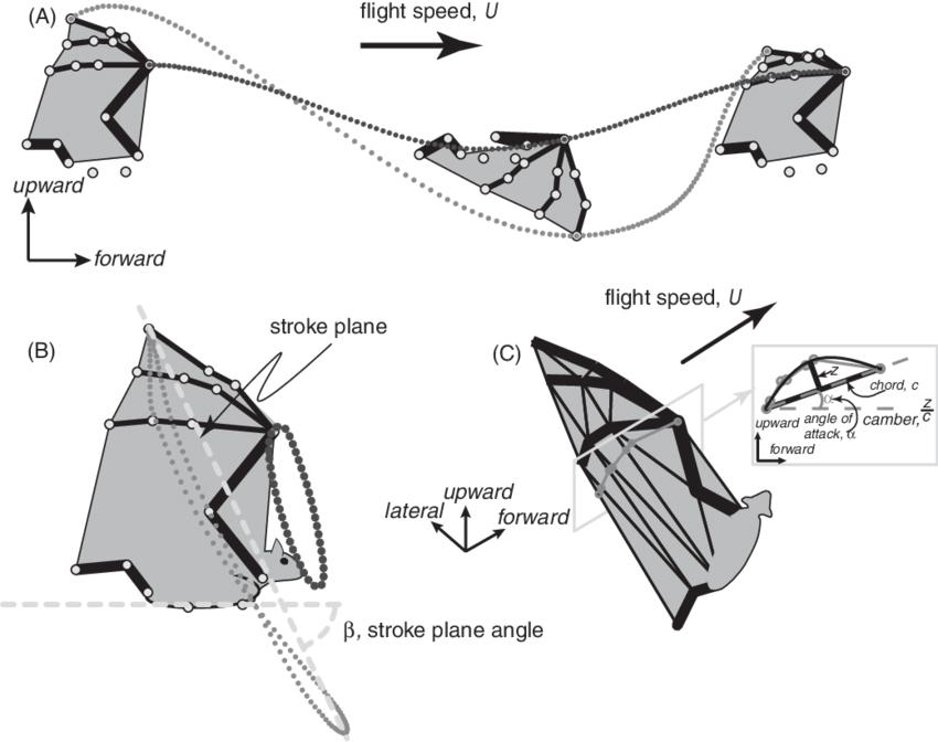 1 Schematic of bat in flight illustrating aerodynamic