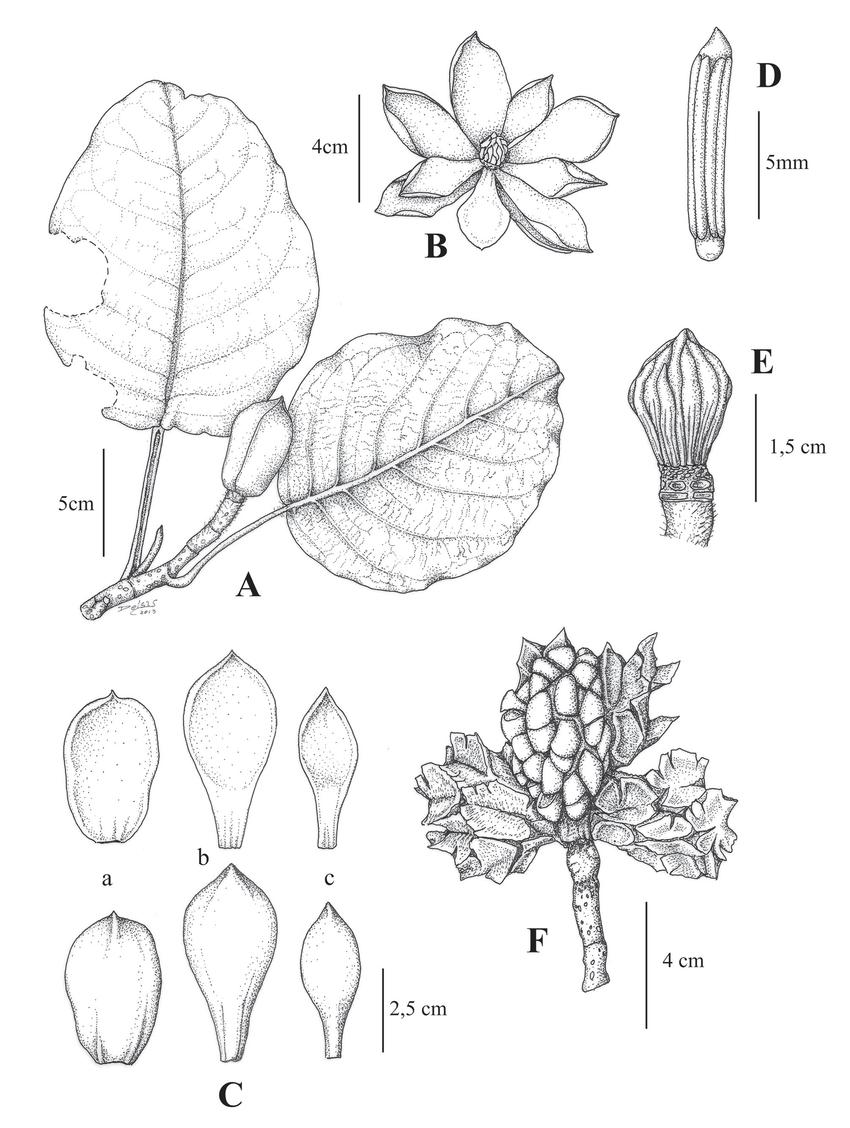 medium resolution of magnolia sanchez vegae a branchlet with floral bud b flower
