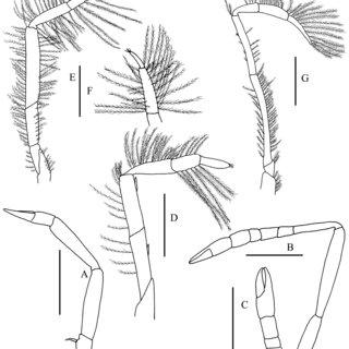 Ogyrides wickstenae sp. nov., holotype, male from Isla de