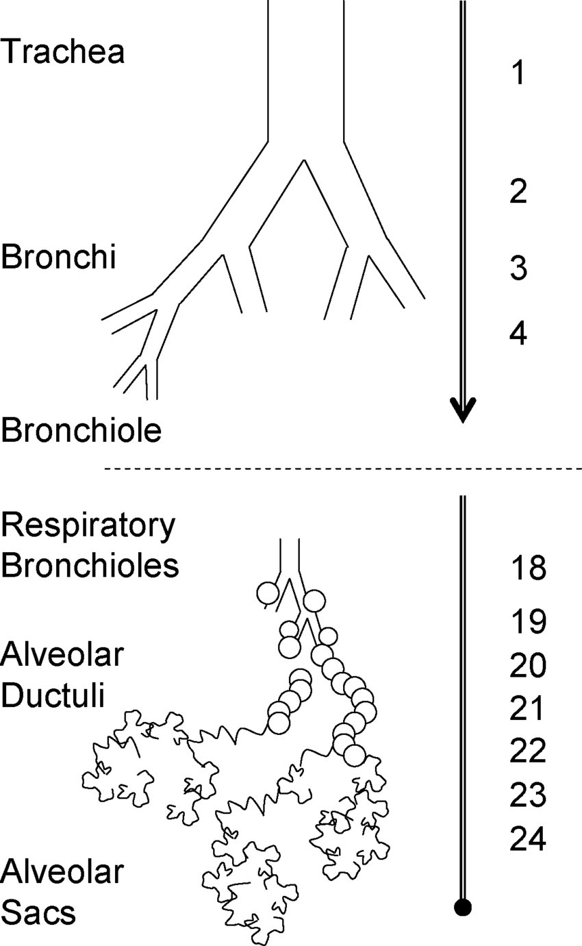 Schematic representation of the bronchial tree