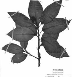 magnolia zamudioi holotype deposited at ieb instituto de ecolog a a c  [ 793 x 1112 Pixel ]