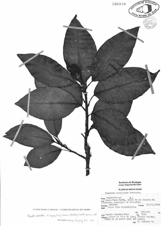 medium resolution of magnolia zamudioi holotype deposited at ieb instituto de ecolog a a c