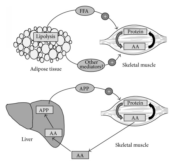 Examples of cross talk between adipose tissue/liver and