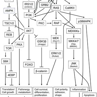 The effects of protein kinase inhibitors on the activation