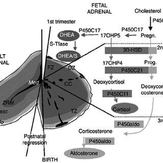 (PDF) Relative Adrenal Insufficiency in Premature Infants