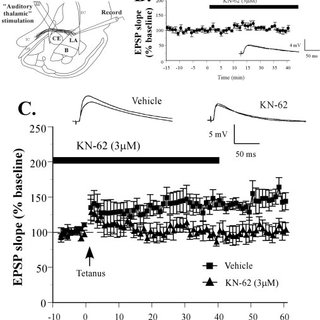 Impaired amygdala LTP by KN-62. A, Schematic of the