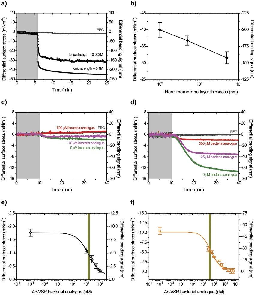 Effect of near-membrane layer on antibiotic binding