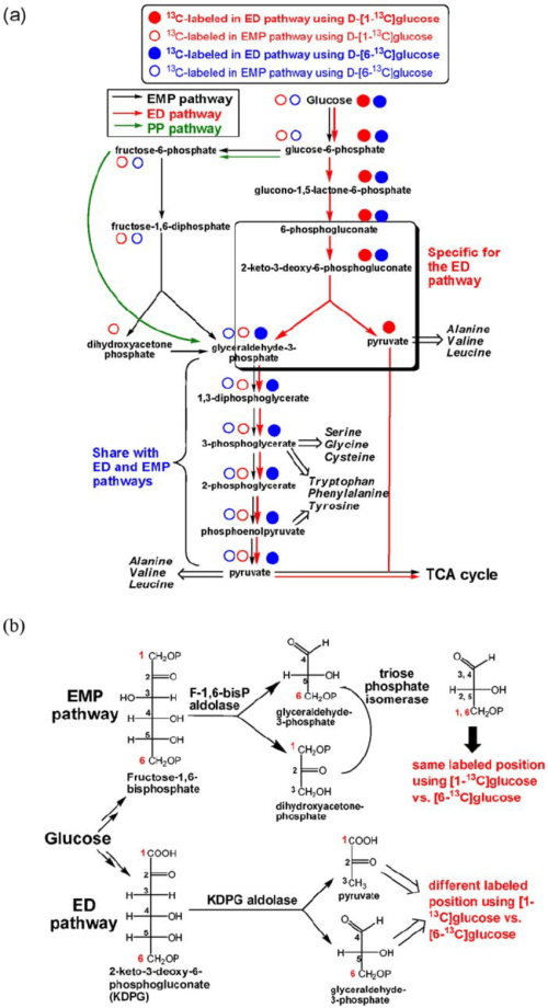 small resolution of proposed carbohydrate metabolism and amino acid biosynthesis pathways in r denitrificans predicted 13 c