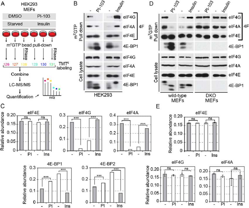 mTOR-dependent regulation of the 59 cap-binding complex