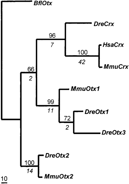 small resolution of hypothesized phylogeny of crx and otx proteins the most parsimonious phylogenetic tree using an exhaustive