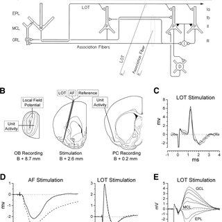 (PDF) Long-Term Plasticity in the Regulation of Olfactory