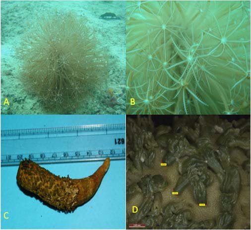 A-Live colony at natural condition B-Exposed polyps C ...