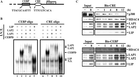 Bindings of CEBPBs parallel with HDAC4 binding upon long