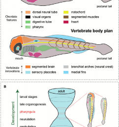 the vertebrate body plan and the hourglass model a schematic body plan diagrams body plan diagram [ 817 x 1245 Pixel ]