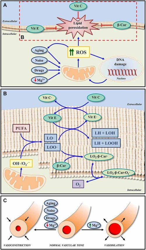 small resolution of  a increased ros generation induced by noise drugs aging and even low extracellular mg2 may lead to oxidative dna damage and lipid peroxidation