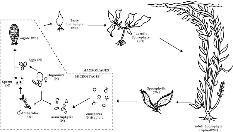 Macrocystis pyrifera life cycle depicting various life