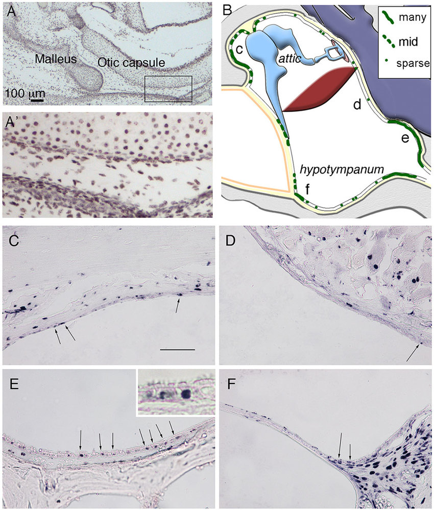 hight resolution of label retaining cells are concentrated in specific parts of the middle ear a