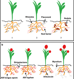 scheme of signalling and establishment of plant microorganism mutualistic associations in the rhizosphere  [ 850 x 1028 Pixel ]