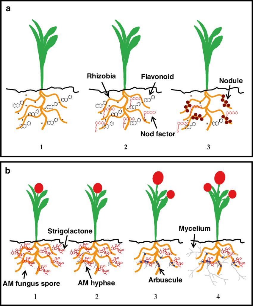 medium resolution of scheme of signalling and establishment of plant microorganism mutualistic associations in the rhizosphere