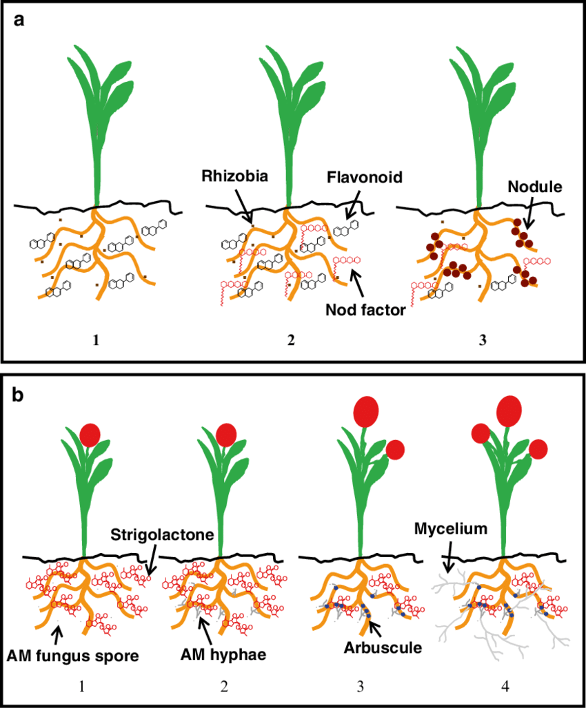 hight resolution of scheme of signalling and establishment of plant microorganism mutualistic associations in the rhizosphere
