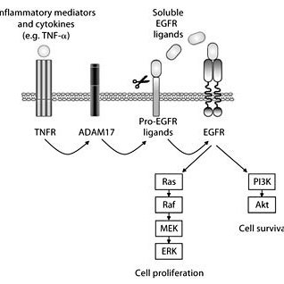 Crosstalk between inflammatory signals and the EGFR system
