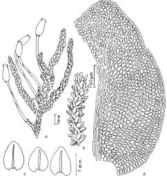 habit of gametophyte with sporophyte b habit of [ 850 x 936 Pixel ]