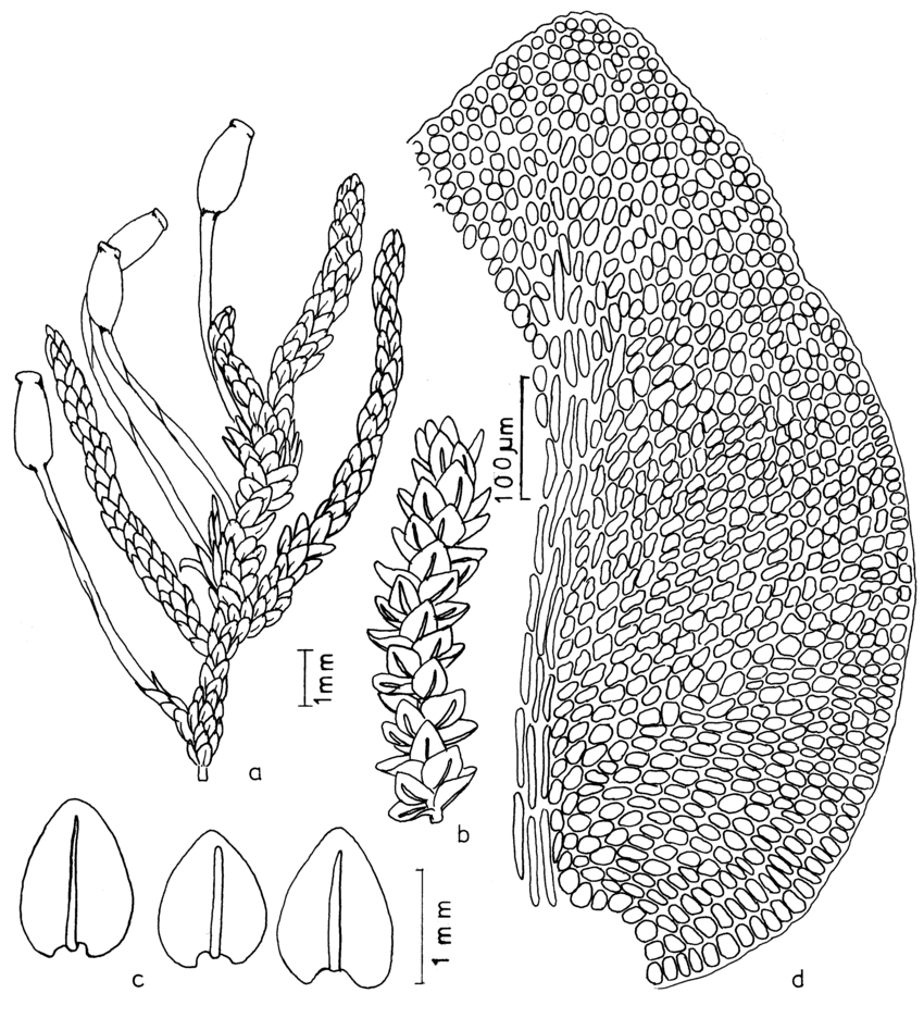 hight resolution of habit of gametophyte with sporophyte b habit of