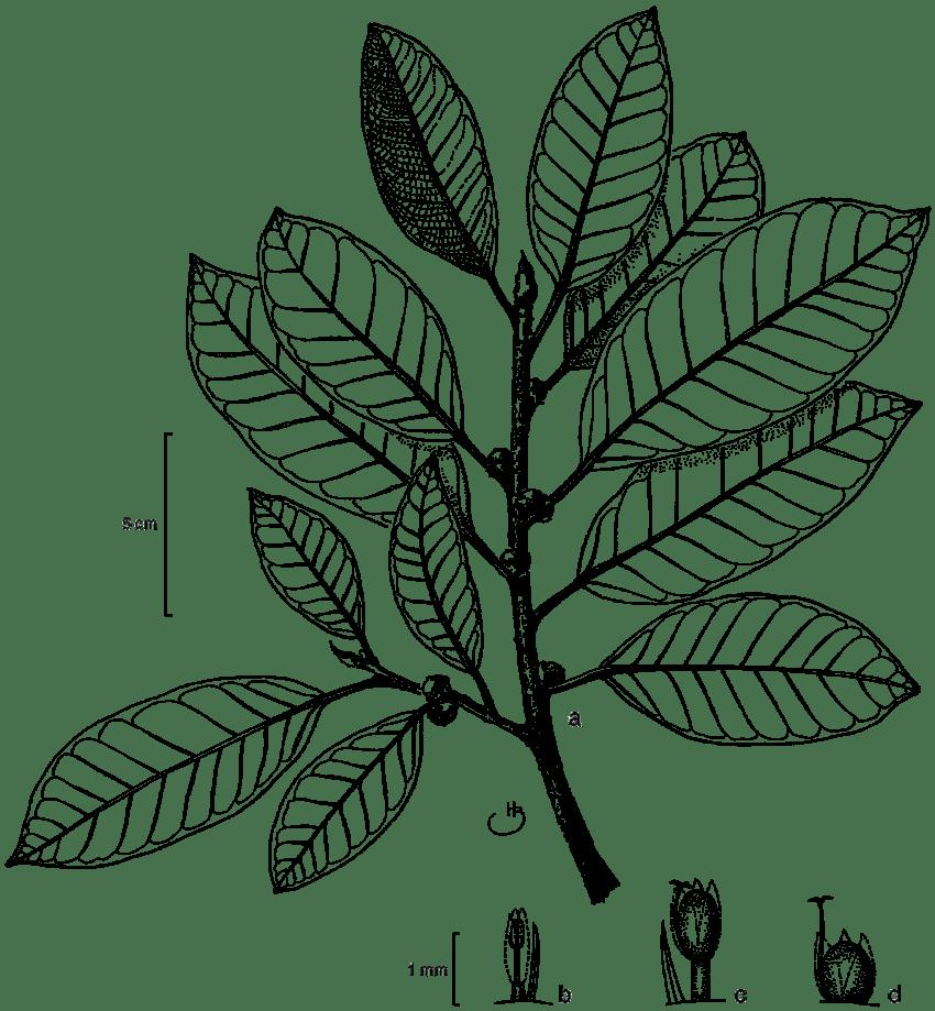 Ficus machupicchuensis C.C.Berg. a. Leafy twigs with figs