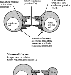 differences between cell cell and virus cell fusion when an infected download scientific diagram [ 850 x 1171 Pixel ]