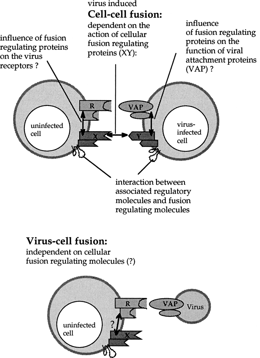 medium resolution of differences between cell cell and virus cell fusion when an infected download scientific diagram