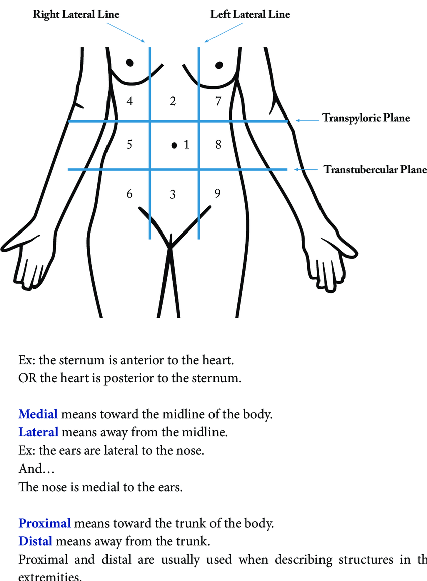 hight resolution of 4 planes dividing the abdominal region into 9 areas