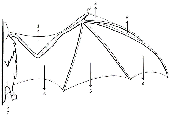 Anatomical wing regions compared in the phyllostomid bat