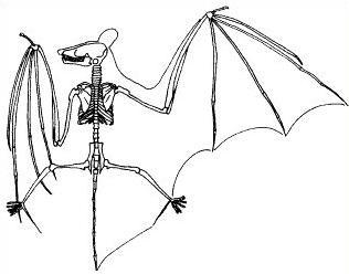 Skeleton and wing outline of a representative microbat