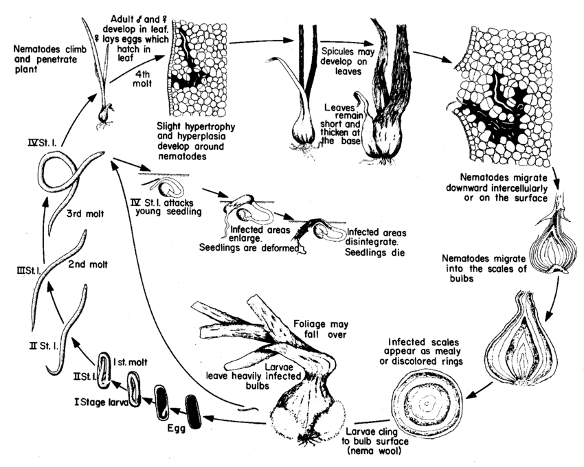Disease life cycle of the stem and bulb nematode