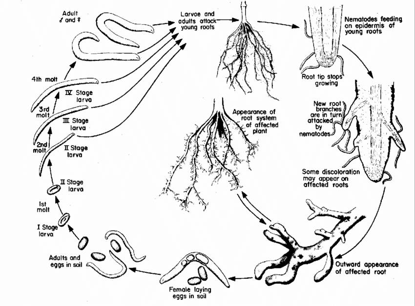 Disease life cycle of the stubby-root nematode