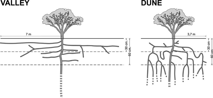 Schematic drawing of P. flexuosa coarse root system