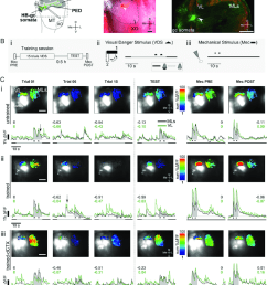 in vivo calcium imaging preparation and neural activity in the crab s hb a  [ 850 x 977 Pixel ]